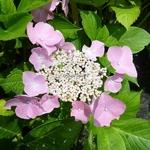 Hydrangea macrophylla Frisbee