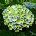 Hydrangea macrophylla Revolution