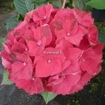 Hydrangea macrophylla Ruby Tuesday (3)