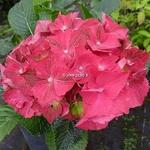 Hydrangea macrophylla Ruby Tuesday (2)