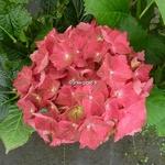 Hydrangea macrophylla Ruby Tuesday (4)