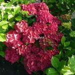 Hydrangea macrophylla Ruby Tuesday