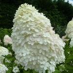 Hydrangea paniculata Limelight (1)
