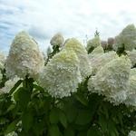 Hydrangea paniculata Limelight (2)