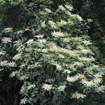 Schizophragma integrifolium faurei Windmills