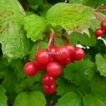 Viburnum opulus Notcutt Variety (3)