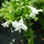 Abelia grandiflora Happy Daydream (3)