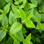Abelia grandiflora Happy Daydream (2)