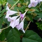 Abelia grandiflora Pink Pong (1)