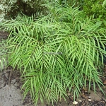Mahonia eurybracteata Solft Caress