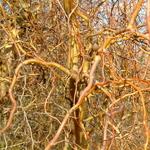 Salix Erythroflexuosa (2)
