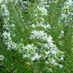 Abelia chinensis White Surprise (2)