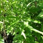 Quercus nigra (3)