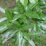 Quercus imbricaria (4)
