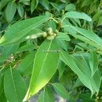 Quercus mysinifolia (3)