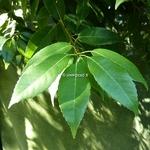 Quercus glauca (1)
