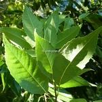Quercus glauca (2)