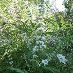 Vitex agnus-castus Silver Spire (2)