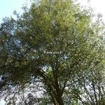 Quercus ilex (2)