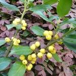 Ilex aquifolium Bacciflava (3)