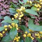 Ilex aquifolium Bacciflava (1)