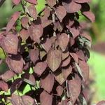 Cercidiphyllum japonicum Rotfuch