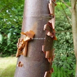 Acer griseum (2)