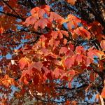 Acer griseum (3)