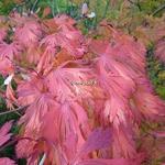 Acer japonicum Aconitifolium (7)