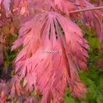 Acer japonicum Aconitifolium (3)