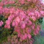 Acer japonicum Aconitifolium (6)