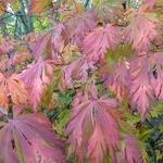 Acer japonicum Aconitifolium (5)