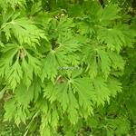 Acer japonicum Aconitifolium (1)