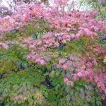 Acer japonicum Aconitifolium (4)
