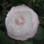 Camellia japonica Baby Pearl (2)