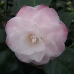 Camellia japonica Baby Pearl (1)