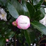 Camellia sasanqua Azakura (13)