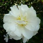 Camellia sasanqua Azakura (11)