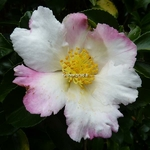Camellia sasanqua Chantilly Rose (9)