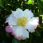 Camellia sasanqua Chantilly Rose (7)