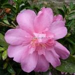 Camellia sasanqua Elfin Rose (1)