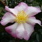 Camellia sasanqua Fukuzutsumi (8)