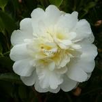 Camellia sasanqua Gay Sue (4)
