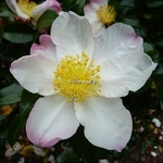Camellia sasanqua Hana Jiman (2)