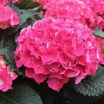Hydrangea macrophylla Red Beauty (1)