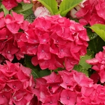Hydrangea macrophylla Red Beauty (2)