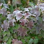 Hydrangea quercifolia Ice Crystal