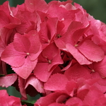 Hydrangea macrophylla Red Beauty (3)
