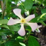 Trachelospermum jasminoides Pink Showers (1)