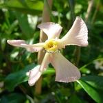 Trachelospermum jasminoides Pink Showers (4)